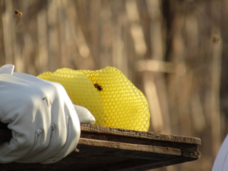 Beautiful honey comb made by Tiffany's bees
