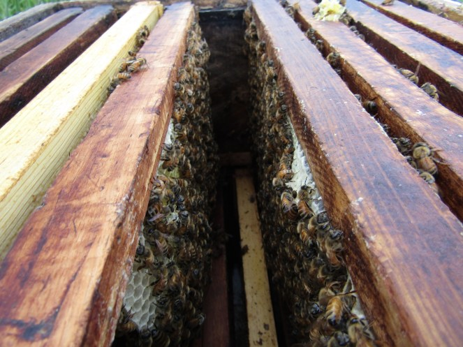 Honeybees building comb in a foundationless frame.