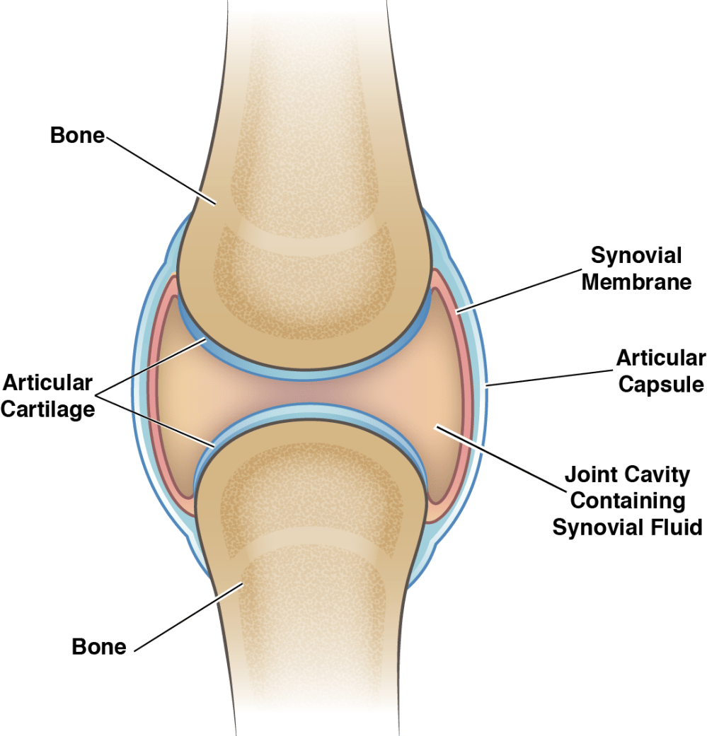medium resolution of knee joint cavity diagram