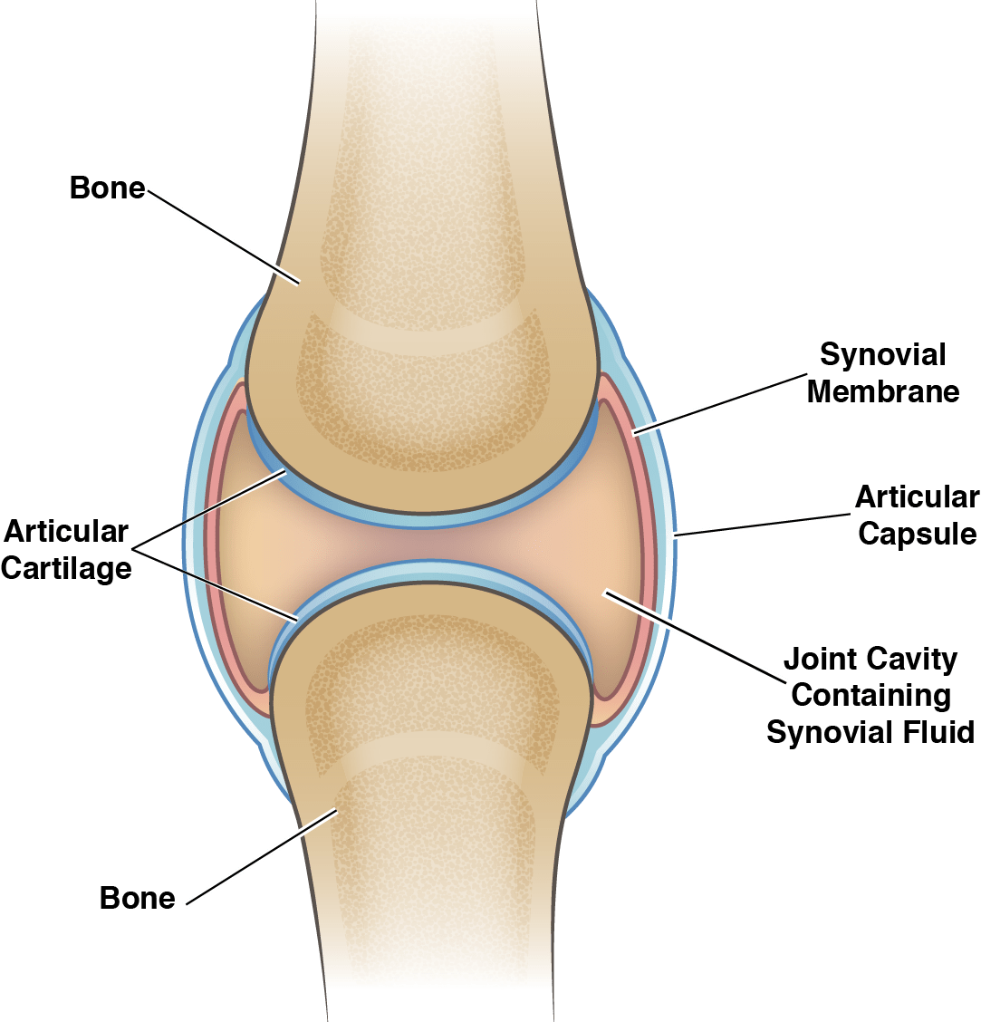 hight resolution of knee joint cavity diagram