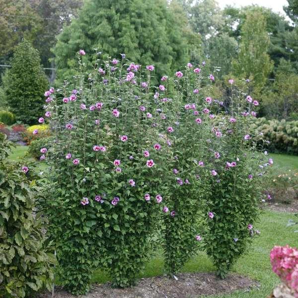 Purple Hibiscus Tree Year Of Clean Water