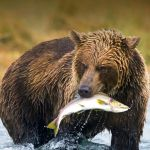 california grizzly bear - photographer unknown