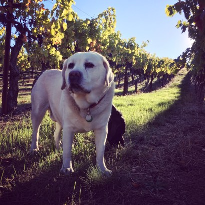 Marston Family Vineyard dog