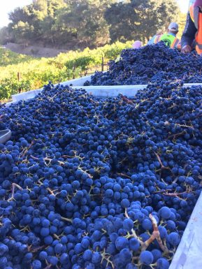 Marston Family Vineyard harvest