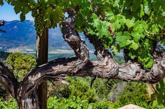 Barnett Vineyard - Vine with a View (2)