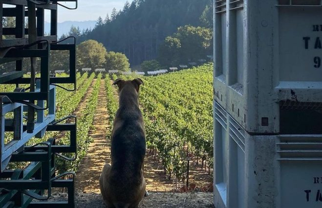 Keenan Winery Dog