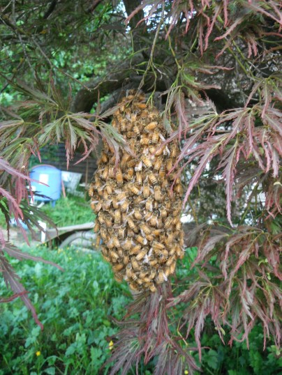 A small captured swarm from summer 2013.