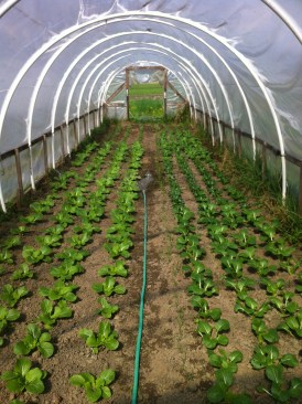 Bok choys and spring onions