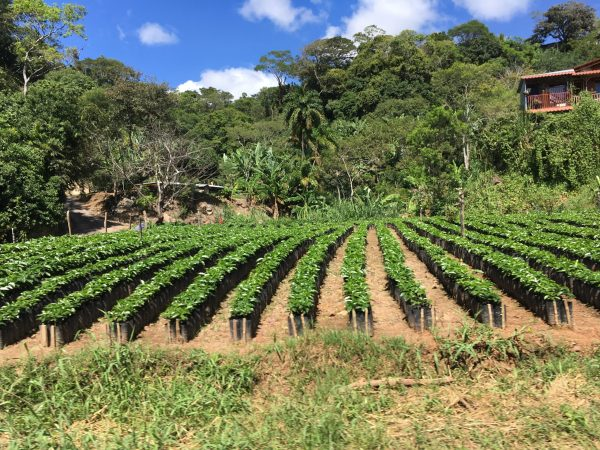 coffee field