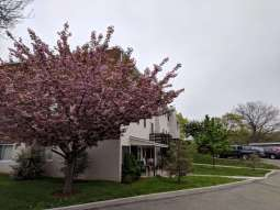 Corner angle of apartment building with cherry blossom tree blooming on the side.