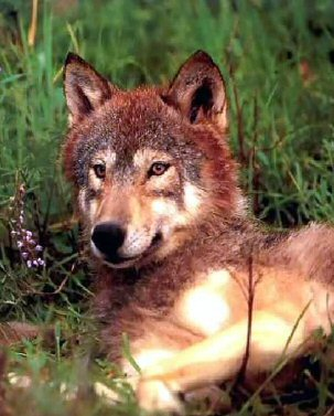 Spiritual Classifications Of The Wolf (2/3)