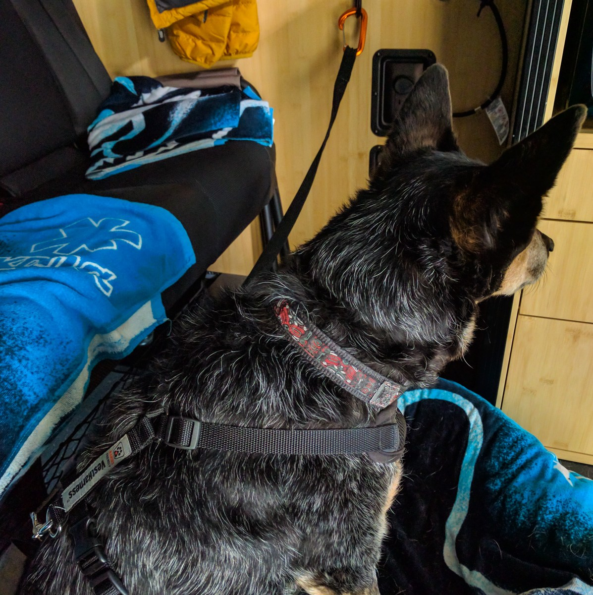 The dog on her bed in her harness in the van