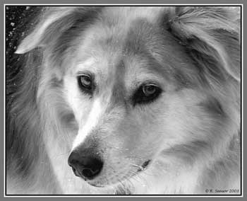 DOGS_260-Grey_Wolf_in_Snowstorm