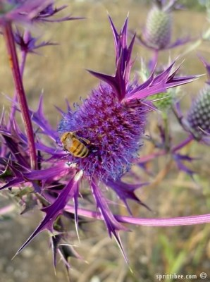 purple-beeflower