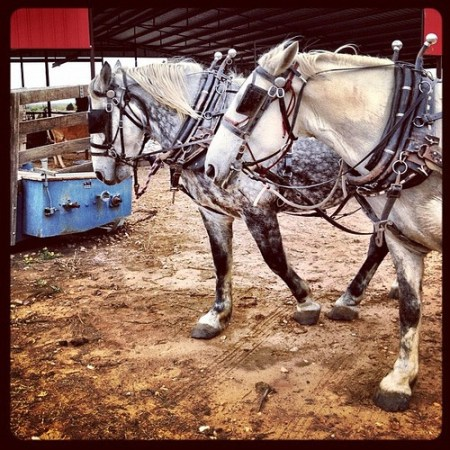 Sleigh bells on horses with no hope of snow. #texas #country