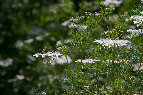 cilantro and bee
