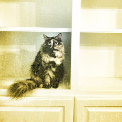Empty Bookcases, Fraidy Cats #cats #pets