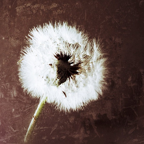 Tomorrow's Dandelions #flowers #nature #dandelion