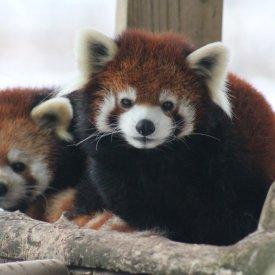 Red Pandas - Kara Nickerson- Sep