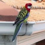冬になると現れる鳥、イースタン・ロゼラ