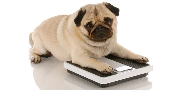 pudgy-fat-overweight-pet-dog-canine-tip-advice-vet-doctor-health-spry