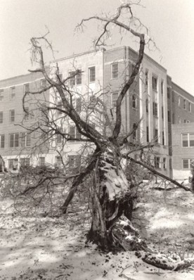 Winter of 1988: Tree east of Owens Hall fell in severe ice storm.