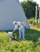 Sister Terri Grasso volunteers in the White Violet Center gardens during the Providence Associate volunteer times Friday morning.