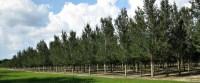 Live Oak Tree Scientific Name - Southern Pride Tree Farm