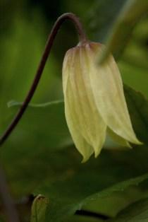 Okänd klematis som blommar första gången på 5 år.