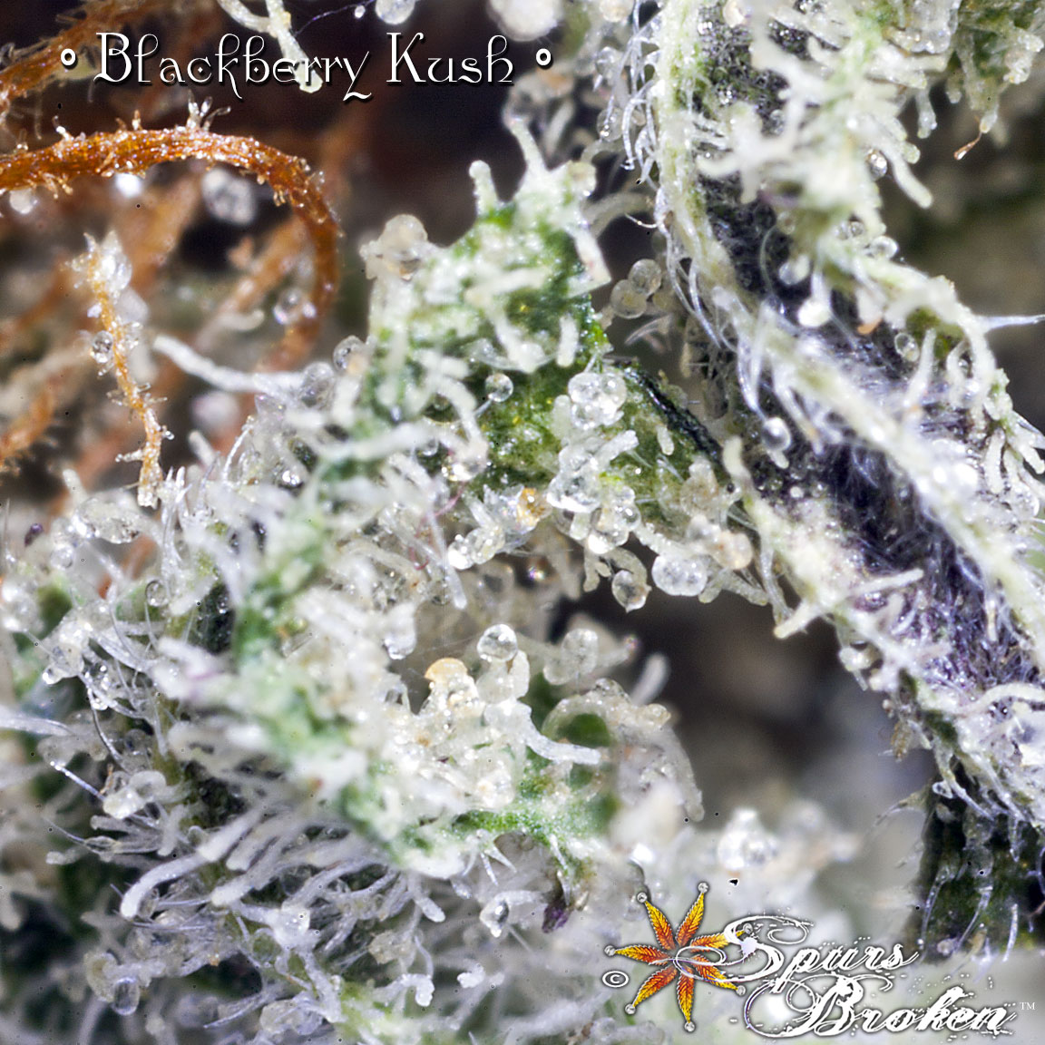 Blackberry Kush - Cannabis Macro Photography by Spurs Broken (Robert R. Sanders)
