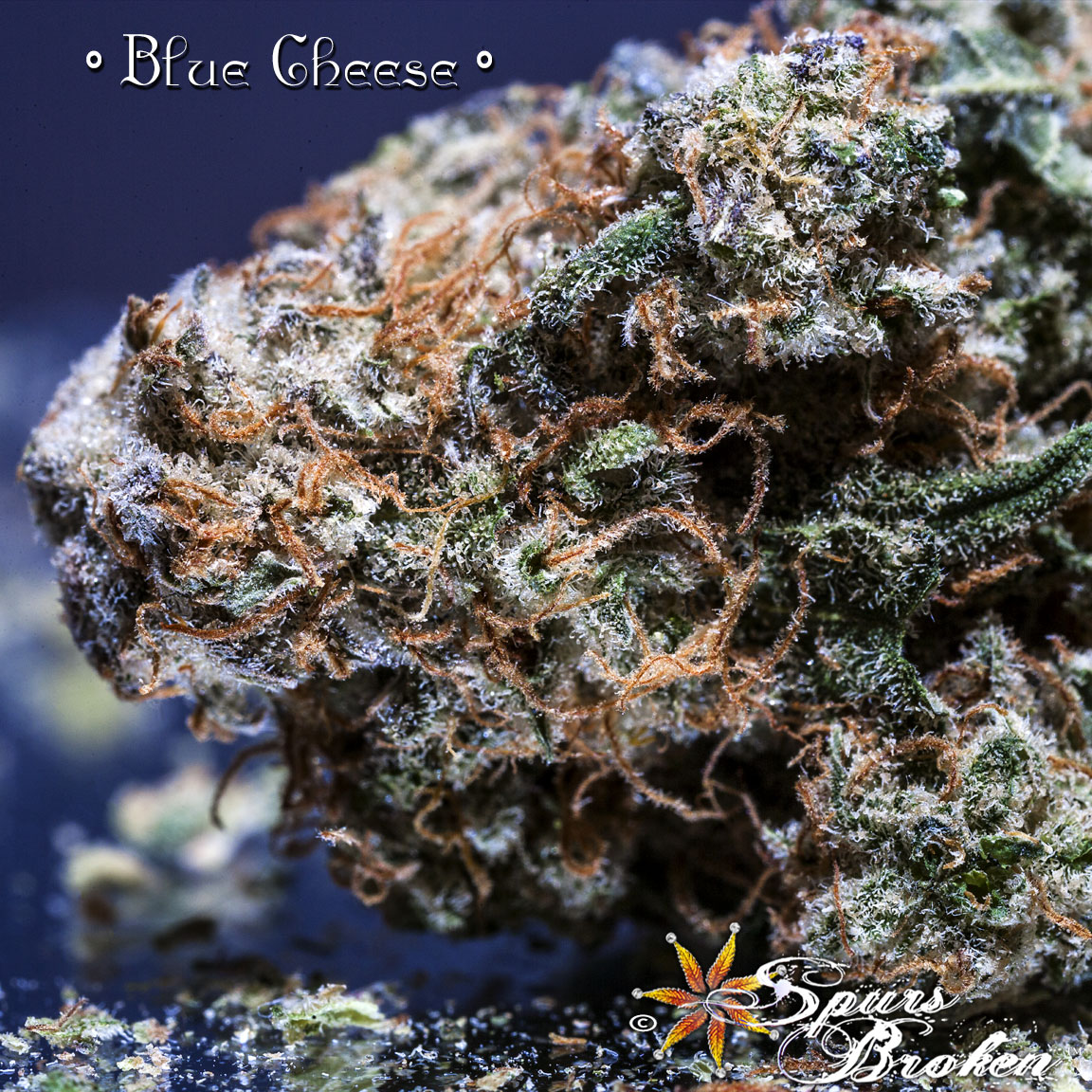Blue Cheese - Cannabis Macro Photography by Spurs Broken (Robert R. Sanders)