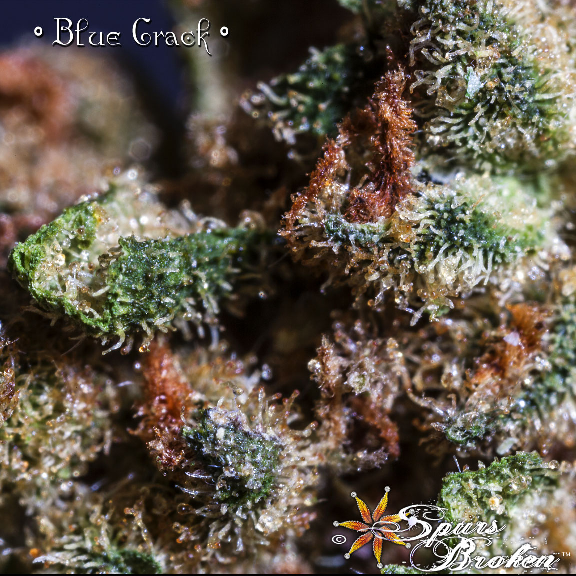 Blue Crack - Cannabis Macro Photography by Spurs Broken (Robert R. Sanders)