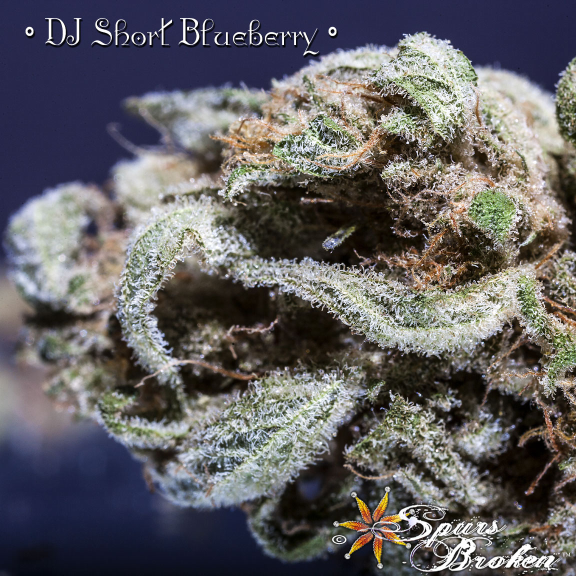 DJ Short Blueberry - Cannabis Macro Photography by Spurs Broken (Robert R. Sanders)