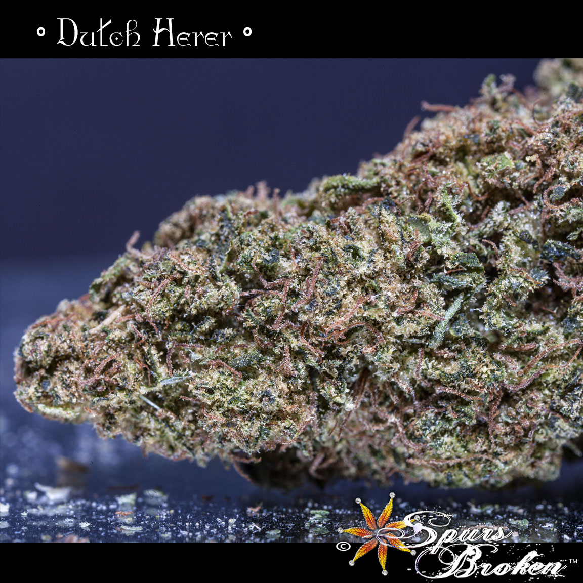 Dutch Herer - Cannabis Macro Photography by Spurs Broken (Robert R. Sanders)