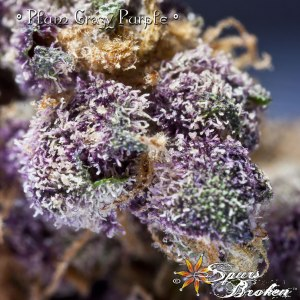 Plum Crazy Purple (PCP) - Cannabis Macro Photography by Spurs Broken (Robert R. Sanders)