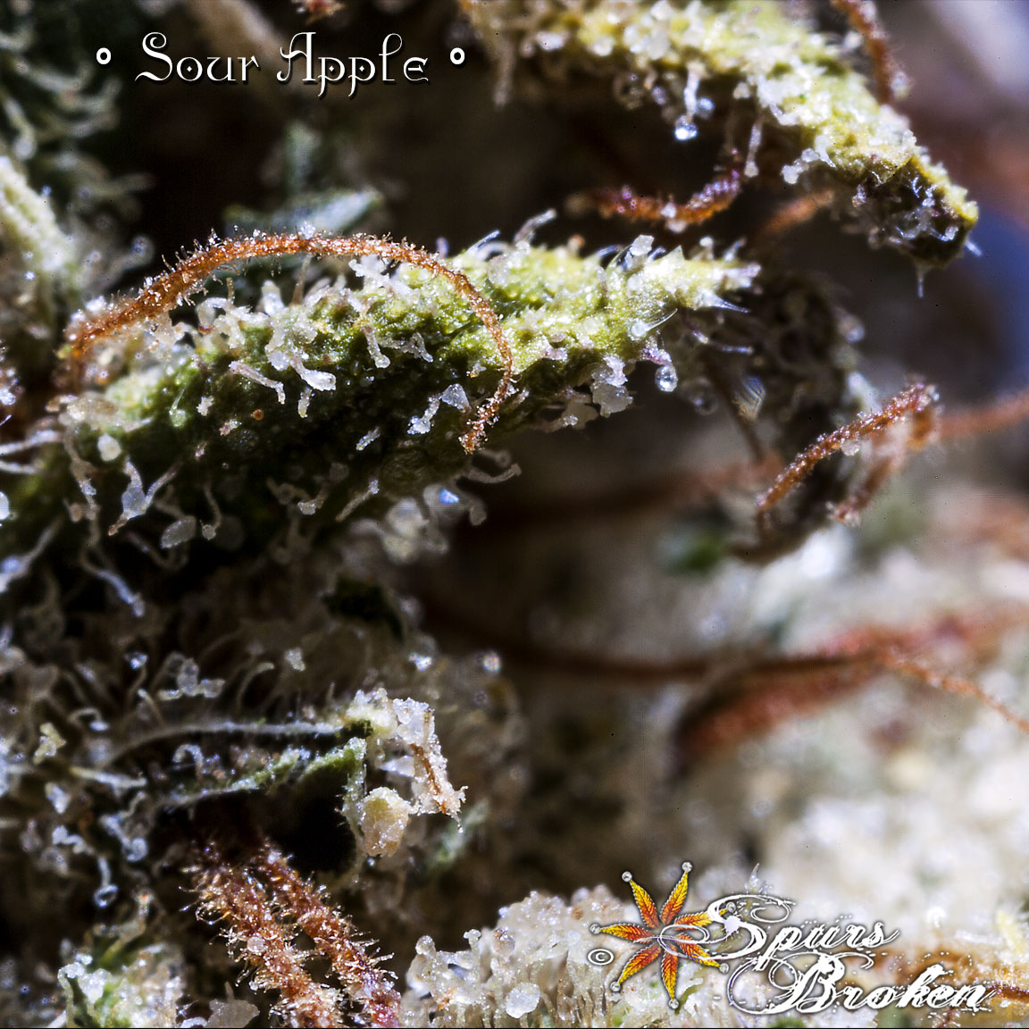 Sour Apple - Cannabis Macro Photography by Spurs Broken (Robert R. Sanders)