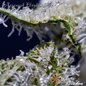 Tranquil Elephantizer - Cannabis Macro Photography by Spurs Broken (Robert R. Sanders)