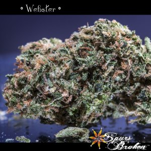 Webster - Cannabis Macro Photography by Spurs Broken (Robert R. Sanders)