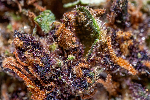 Blackberry Cheesecake macro-photography, Beauty of Cannabis by Spurs Broken