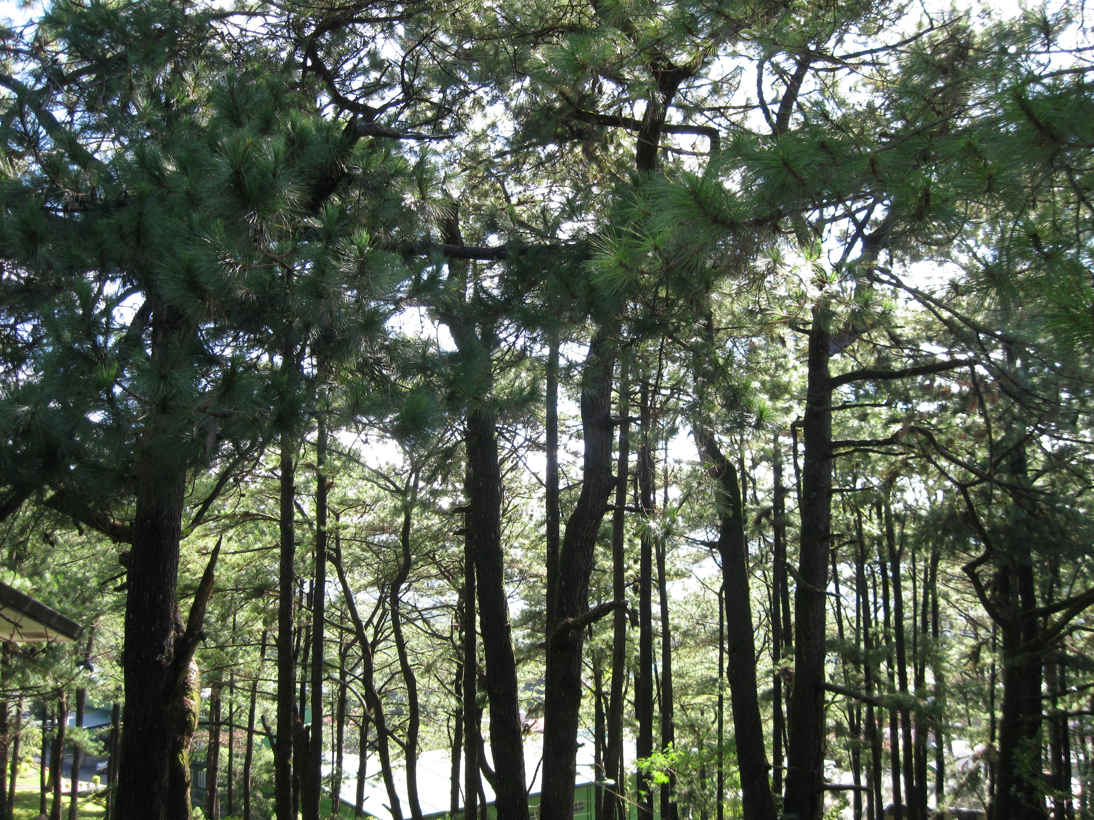 Pine Trees in Baguio