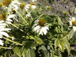 White Swan Echinacea with Bumblebee