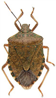 Get Rid of Stink Bugs the Cheap Way