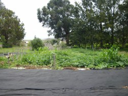 Salvaged geo textile becomes a ground cover to minimize weeds, hold water, and add heat for the heat loving squash plants