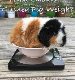 guinea pig weight [ 800 x 986 Pixel ]