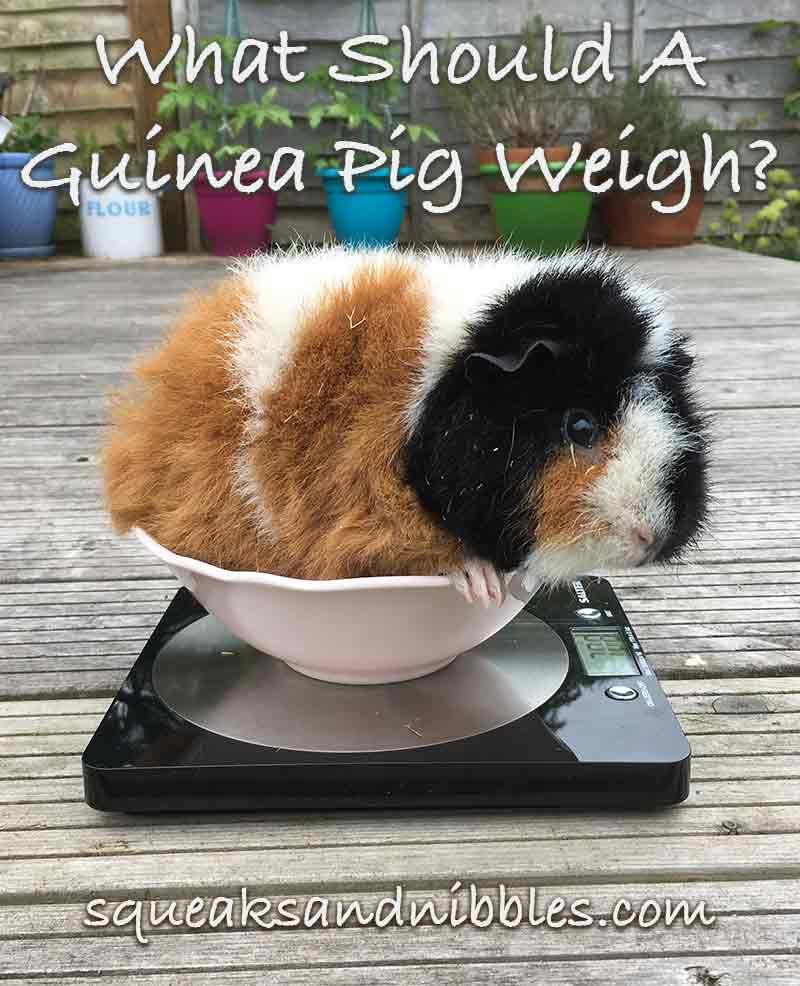 hight resolution of guinea pig weight