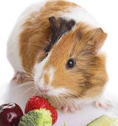 can guinea pigs eat broccoli [ 800 x 1396 Pixel ]
