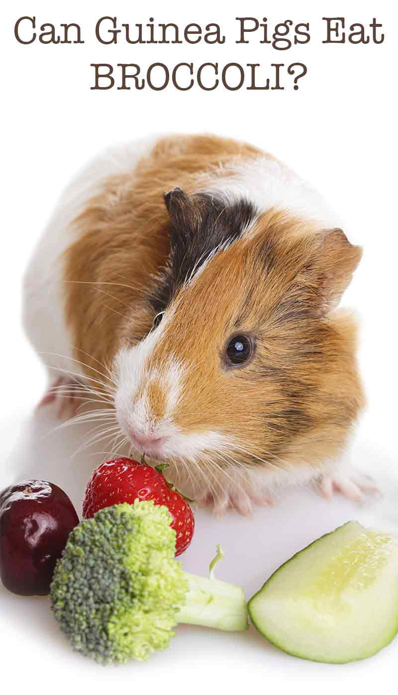 medium resolution of can guinea pigs eat broccoli
