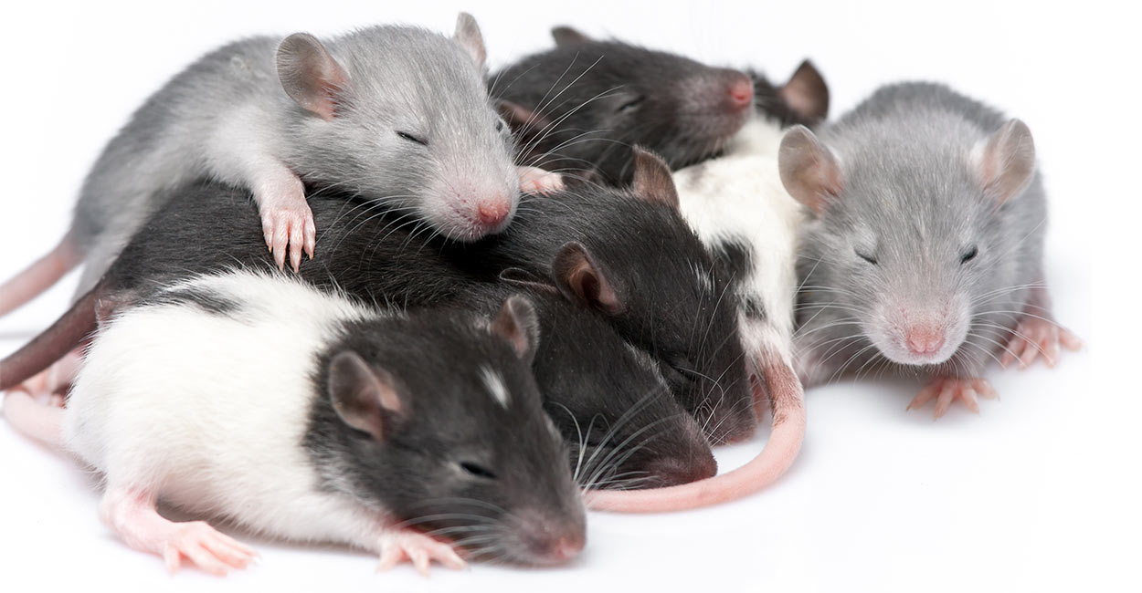 In This Article We Chart Baby Rats' Care And Development From The Day  They're Born Until They're Ready To Come Home And Start A New Life In Your  Family.