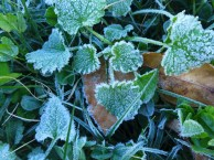frosty weeds
