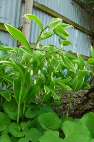 Solomon's Seal: same location as the shoots emerging from the ground in my previous post